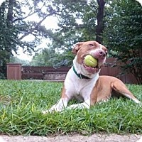 Adopt A Pet :: Dinky Rose  **Courtesy Listing** - Roswell, GA