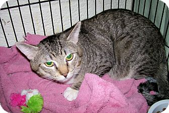 Domestic Shorthair Cat for adoption in Scottsdale, Arizona - Pogo