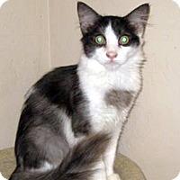 Domestic Mediumhair Cat for adoption in San Ysidro, California - Ferdinand