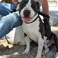 Adopt A Pet :: Truman - Seattle, WA