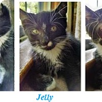 Adopt A Pet :: Jelly - Northfield, OH