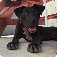 Adopt A Pet :: Posh (LC) - Santa Ana, CA