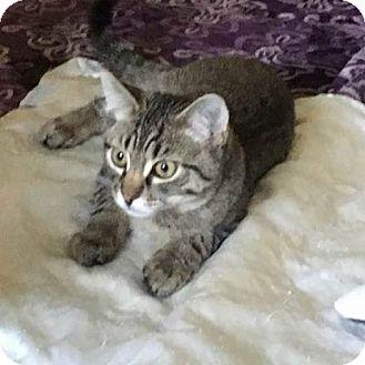 Domestic Shorthair Kitten for adoption in Lanoka Harbor, New Jersey - BUBBA