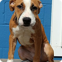 Adopt A Pet :: Shelby - Waldorf, MD