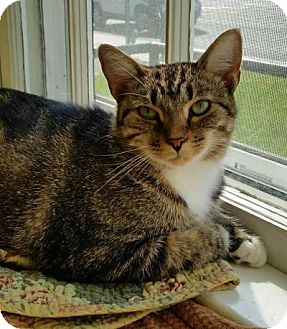Domestic Shorthair Cat for adoption in Fairfax, Virginia - Tina Fey