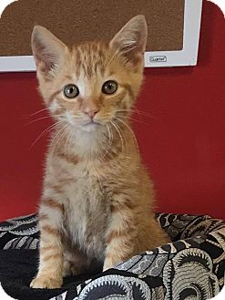 Domestic Shorthair Kitten for adoption in Covington, Virginia - Wilbur