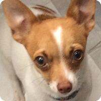 Adopt A Pet :: Tidbit - Worcester, MA