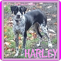 Adopt A Pet :: HARLEY - Allentown, PA