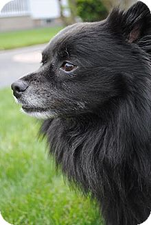 Spitz (Unknown Type, Small) Dog for adoption in Freeport, New York - Shadow