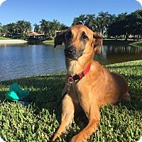 Saluki Mix Dog for adoption in Key Biscayne, Florida - Maya