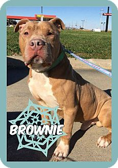 American Pit Bull Terrier Dog for adoption in Des Moines, Iowa - Mr Brown-IN REHABILITATION