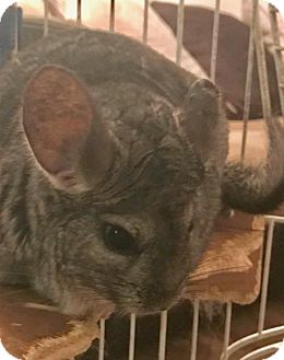 Chinchilla for adoption in Sugarland, Texas - Cherry and Berry