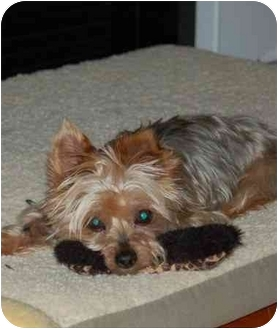 yorkie for adoption in nc lexi adopted dog charlotte nc yorkie yorkshire terrier 6085