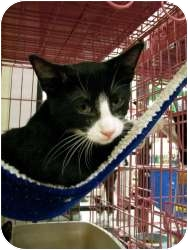 Domestic Shorthair Cat for adoption in Thousand Oaks, California - Mickey