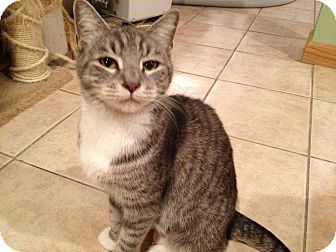 Domestic Shorthair Cat for adoption in East Hanover, New Jersey - Lilly