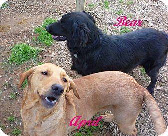 Labrador Retriever/Golden Retriever Mix Dog for adoption in Linden, Tennessee - April