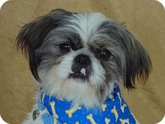 Shih Tzu Dog for adoption in Princeton, Kentucky - Sammie