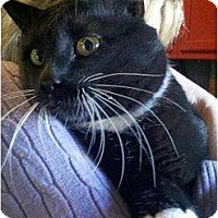 Domestic Shorthair Cat for adoption in Trexlertown, Pennsylvania - Bruce