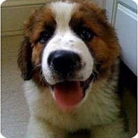 Adopt A Pet :: St.Bernard Fosters Needed in K - New Richmond, OH