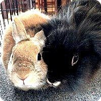 Adopt A Pet :: Mufasa - Woburn, MA