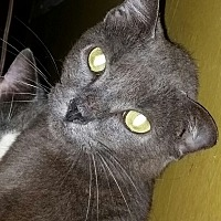Domestic Shorthair Cat for adoption in Orlando-Kissimmee, Florida - Stacey