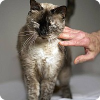 Siamese Cat for adoption in Drippings Springs, Texas - Queenie