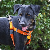 Adopt A Pet :: Bono - Pinehurst, NC