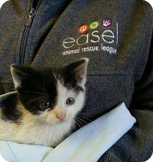 Domestic Shorthair Kitten for adoption in Lawrenceville, New Jersey - KITTENS! KITTENS! KITTENS!