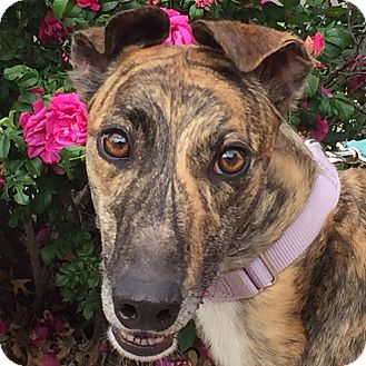 Greyhound Dog for adoption in Coon Rapids, Minnesota - Winner