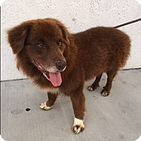 Adopt A Pet :: Bear - Ocean Ridge, FL