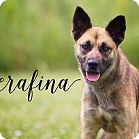 Adopt A Pet :: Serafina - Joliet, IL