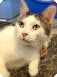 Domestic Shorthair Cat for adoption in Montreal, Quebec - Chino