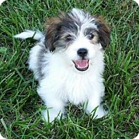 Adopt A Pet :: Owen - Richmond, VA