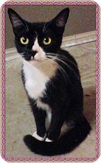 Domestic Shorthair Cat for adoption in Aurora, Missouri - Princess