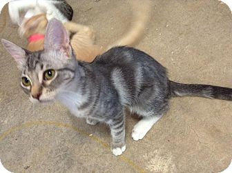 Domestic Shorthair Kitten for adoption in Phoenix, Arizona - Monkey