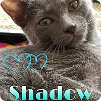 Domestic Shorthair Kitten for adoption in Grand Blanc, Michigan - Shadow