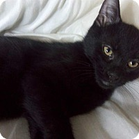 Domestic Shorthair Kitten for adoption in Columbus, Ohio - Kuro