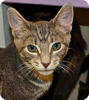 Domestic Shorthair Kitten for adoption in Westbury, New York - Bubba