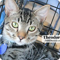 Domestic Shorthair Kitten for adoption in Temecula, California - Theodore