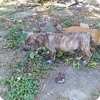 Adopt A Pet :: Maze - Tiptonville, TN