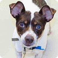Rat Terrier Dog for adoption in Denver, Colorado - MOE