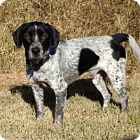 German Shorthaired Pointer Mix Dog for adoption in Washington, D.C. - PARTNER