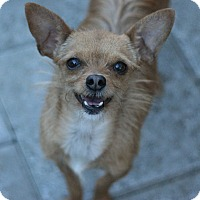 Adopt A Pet :: Brownie - Canoga Park, CA