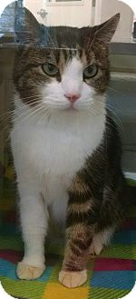 Domestic Shorthair Cat for adoption in Gloucester, Virginia - JEWELS