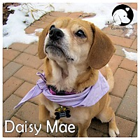 Adopt A Pet :: Daisy Mae - Pittsburgh, PA