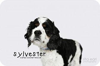 Cocker Spaniel Dog for adoption in Sherman Oaks, California - Sylvester