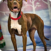 Adopt A Pet :: Bella Mae - Indianapolis, IN