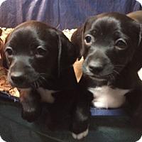 Adopt A Pet :: Lorelai & Rory - Dumfries, VA