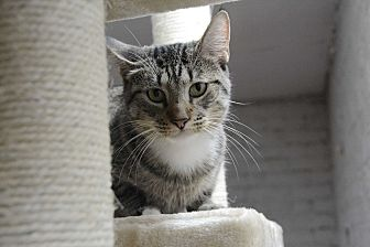 Domestic Shorthair Cat for adoption in Brooklyn, New York - Starlet