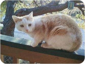 Domestic Shorthair Cat for adoption in Wenatchee, Washington - Garfield